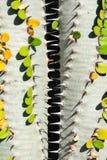 Två kaktusväxter med den gröna sidaalluaudiaproceraen som bildar a vinande-som mellanrummet, closeupbild royaltyfria bilder
