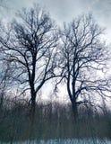 Två kala ekar i den Shipovaya ekskogen arkivfoton