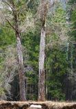 Två kala träd i den Yosemite dalen Arkivfoto