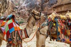 Två kamel, i anseende och att posera för Petra-kanjon i profil Arkivfoto