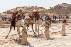 Två kamel som väntar på turister på Giza arkivfoton
