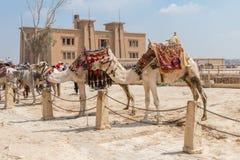 Två kamel som väntar på turister i Egypten royaltyfri foto