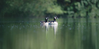 Två Kanada gäss på en sjö royaltyfria foton