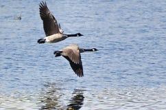 Två Kanada gäss som flyger över vatten Arkivfoto