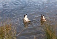 Två kanadensiska gäss, bottnar upp i sjön Arkivfoton