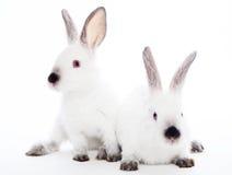 Två kaniner royaltyfria foton