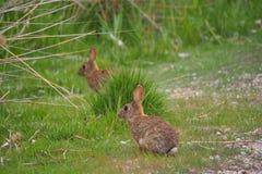 Två kaniner, i sjön av Ivars och Vilasana, Lérida arkivfoton