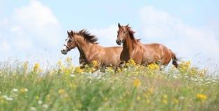Två kastanjebruna hästar som tillsammans kör Arkivfoton