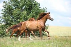 Två kastanjebruna hästar som tillsammans kör Fotografering för Bildbyråer
