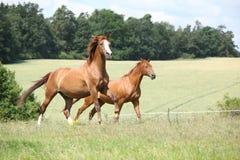 Två kastanjebruna hästar som tillsammans kör Arkivfoto