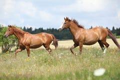 Två kastanjebruna hästar som tillsammans kör Royaltyfri Fotografi