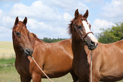 Två kastanjebruna hästar som tillsammans står Royaltyfri Foto