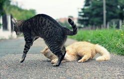 Två katter Fotografering för Bildbyråer