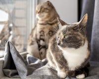 Två katter, en byracka, det annat skotska vecket att sitta på fönsterbrädan och att se ut fönstret hänsynsfullt och att värme sig arkivbild