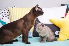 Två katter, fader- och sonkattbrunt, choklad - brunt och grå färgkattunge med stora gröna ögon på trägolvet på mörk bakgrundswhi Fotografering för Bildbyråer