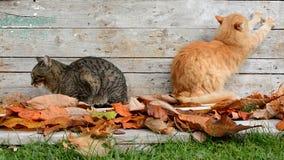 Två katter i trädgården i höstsidor stock video
