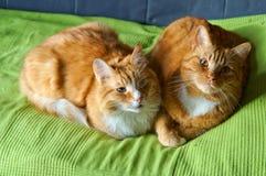 Två katter, rött, hem- som är mjuka, smekning, förälskelse, fruktdryck arkivfoto