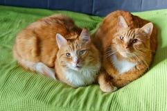 Två katter, rött, hem- som är mjuka, smekning, förälskelse, fruktdryck arkivbilder