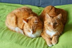 Två katter, rött, hem- som är mjuka, smekning, förälskelse, fruktdryck arkivfoton