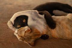 Två katter retar sig arkivfoto