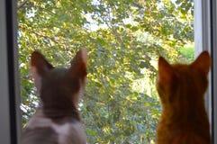 Två katter ser ut fönstret Arkivfoton