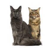 Två katter som bort sitter och ser, isolerat Royaltyfri Bild