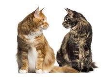 Två katter som ser sig, ialosted på vit Arkivfoton
