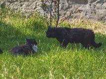 Två katter som slåss på en grön gräsmatta arkivbild