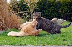 Två katter som slåss på trädgården Royaltyfria Foton