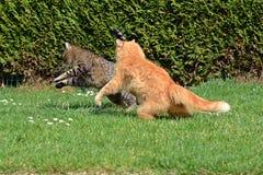 Två katter som slåss på trädgården Arkivfoto