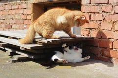 Två katter som slåss på trädgården Royaltyfri Foto