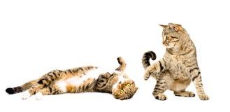 Två katter som tillsammans spelar Fotografering för Bildbyråer