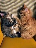 Två katter som tillsammans ta sig en tupplur i en gul stol Båda krullas i en boll som ligger på deras sidor som vänder mot sig royaltyfri foto