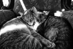 Två katter sovande tillsammans Arkivfoto