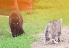 Två katter stod, i en hota ställing och att gå att slåss på våren Arkivfoto