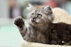 Två kattungar Arkivfoto