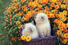 Två kattungar i en korg nära krysantemumblommor royaltyfri foto
