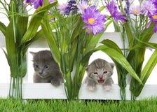 Två kattungar som når en höjdpunkt till och med ett vitt posteringstaket i en blommaträdgård Royaltyfri Foto