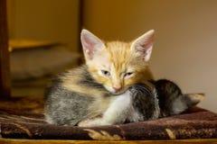 Två kattungar som sover på en stol Ljust rödbrun kattunge som ser caen fotografering för bildbyråer