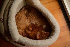 Två kattungar sover tillsammans royaltyfri fotografi