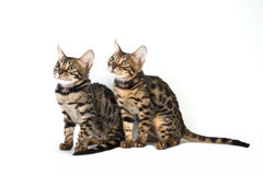 Två kattunge bengal som isoleras på vit Arkivbild