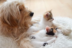 Två kattunge med en hund, bästa vän arkivfoton