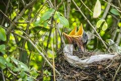 Två kläckte koltraster i fåglar bygga bo royaltyfria foton