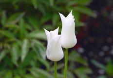 Två knoppar av vita tulpan med droppar av vatten efter ett regn Royaltyfri Fotografi
