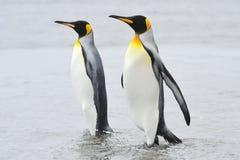 Två konung Penguin (Aptenodytespatagonicus) som går bak de Arkivfoton
