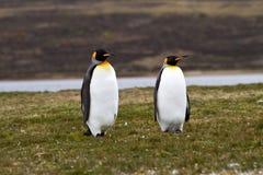 Två konung Penguins Arkivfoton