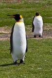 Två konung Penguins Arkivfoto