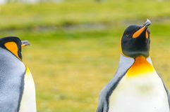 Två konungpingvin arkivbilder