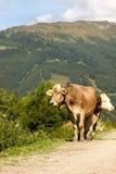 Två kor i alpsna royaltyfri fotografi