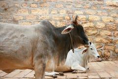 Två kor på gatan i Jaisalmer. Arkivbilder